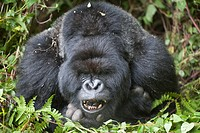Mountain Gorilla, Gorilla beringei beringei, portrait of a silverback showing teeth, Volcanoes National Park, Rwanda