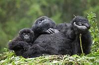 Mountain Gorillas, Gorilla beringei beringei, female with young on nest, Volcanoes National Park, Rwanda