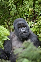 Mountain Gorilla, Gorilla beringei beringei, portrait of a silverback sitting in vegetation, Volcanoes National Park, Rwanda