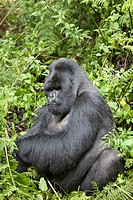 Mountain Gorilla, Gorilla beringei beringei, silverback sitting in vegetation, Volcanoes National Park, Rwanda