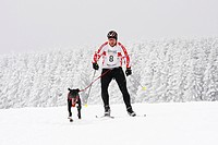 Skijoring, Eurohound, Scandinavian Hound, Winterberg Sled Dog Races 2010, Sauerland, North Rhine-Westphalia, Germany, Europe