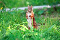 Young female Eurasian Red Squirrel Sciurus vulgaris standing on a lawn and watching vigilant