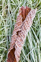 FROSTED LEAVES ON GARDEN LAWN
