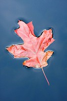 QUERCUS COCCINEA _ AUTUMN LEAF FLOATING IN GARDEN POND