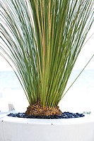 XANTHORRHOEA PREISSII