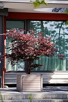 ACER PALMATUM IN SLATTED WOODEN CONTAINER ON TERRACE