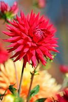 RED DAHLIA