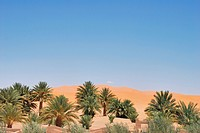 Dune vegetation and sand dunes of Erg Chebbi, Morocco, Africa
