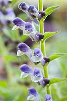 SCUTELLARIA ALTISSIMA ´BLUE & WHITE´
