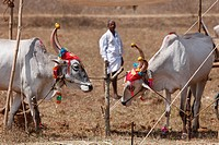 Decorated Zebu or humped cattle, cattle market south of Hunsur, Karnataka, South India, India, South Asia, Asia