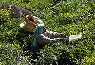 Tea picker, tea plantations, highlands around Munnar, Kerala, Western Ghats, India, South Asia, Asia