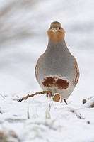 Grey Partridge in winter, Perdix perdix, Germany, Europe