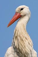 White Stork (Ciconia ciconia), portrait