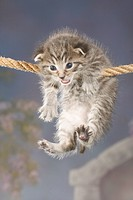 domestic cat _ kitten hanging on rope