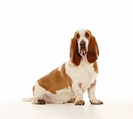 Basset Hound dog _ sitting _ cut out