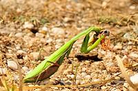 European Mantis with prey / Mantis religiosa