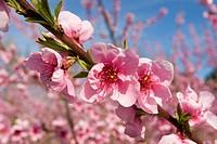 Almond tree (Prunus dulcis) in bloom, Camargue, southern France, Europe