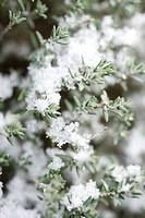 Snow frosted branches of thyme plant