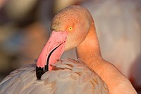 Greater Flamingo (Phoenicopterus ruber), portrait, Camargue, southern France, France, Europe