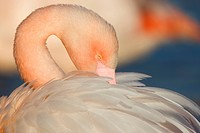 Greater Flamingo Phoenicopterus ruber, portrait, Camargue, southern France, France, Europe