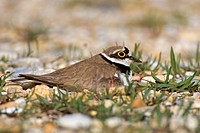 Little Ringed Plover (Charadrius dubius), brooding, Neusiedler See lake, Burgenland, Austria, Europe
