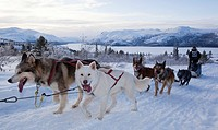 Sled dogs Alaskan Huskies, dog team, musher, dog sled race near Whitehorse, Fish Lake behind, Yukon Territory, Canada