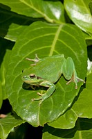 Mediterranean Tree Frog and Stripeless Tree Frog (Hyla meridionalis), Provence, southern France, France, Europe