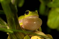 Sardinian Tree Frog or Tyrrhenian Tree Frog (Hyla sarda) during courtship, Sardinia, Italy, Europe
