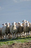 Flock of Sheep standing in pasture  Monegros  Aragon  Spain
