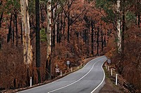 Maroondah highway through burnt trees and forest from the Black Saturday bushfires in 2009, Victoria, Australia