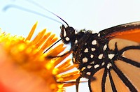 A monarch butterfly, Danaus plexippus, feeds on flower nectar in a garden