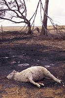 Aftermath of a bushfire with a dead sheep in the foreground