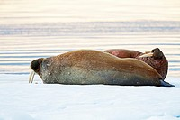 two Walruses, Odobenus rosmarus, lying on ice floe, Spitsbergen, Svalbard