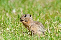 Europäisches Ziesel Spermophilus citellus _ European ground squirrel