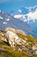 A Mountain Goat near Exit Glacier´s Harding Icefield Trail grazing on plants, Kenai Fjords National Park, Kenai Peninsula, Southcentral Alaska, Summer