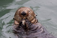 An adult Sea Otter eats a clam while floating in the calm waters of the Valdez Small Boat Harbor, Southcentral Alaska, Summer