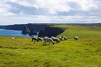 Sheep grazing above Duncansby Stacks, Scotland (thumbnail)