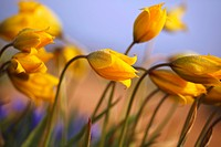 Close-up of daffodils (thumbnail)
