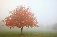 Fall trees in the fog