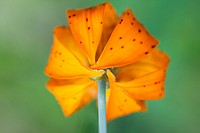 Close_up of a lily