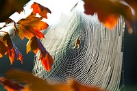 Orb spider on its web