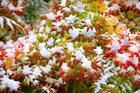 Snow on autumn vine maple
