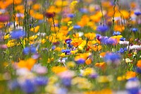 Meadow of wildflowers