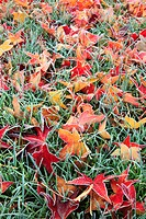 Frost on autumn leaves (thumbnail)