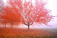 Misty autumn trees (thumbnail)