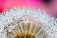 Dew drops on a dandelion