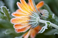 Close_up of frost on a daisy