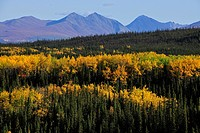 Autumn mood, yellow aspen trees, Denali National Park, Alaska