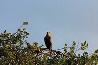 Sea eagle in Usedom, Germany