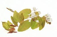 medicinal plant Barrenwort, Epimedium grandiflorum, macranthum, Yin Yang Huo